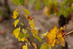 Vineyard in autumn. Dry grass and yellow leaves. Nature blurred background. Shallow depth of field. Toned image. Copy space. stock image