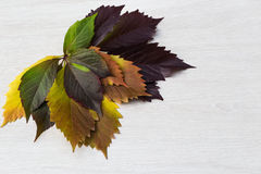 Autumn leaves of grapes, yellow, green and violet, lie in the ri. Some autumn leaves of grapes put by a fan yellow, green and violet, lie in the right top corner Royalty Free Stock Photo