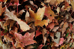 Autumn Leaves in the Grass Stock Image