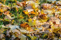 Autumn leaves on grass. Autumn leaves carpet the ground. Autumn leaves on grass Royalty Free Stock Photos