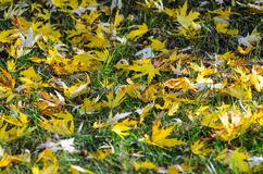 Autumn leaves on grass. Autumn leaves carpet the ground. Autumn leaves on grass Royalty Free Stock Photography
