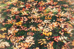 Autumn leaves on grass. Autumn fallen leaves on green grass Royalty Free Stock Photo