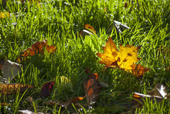 Autumn. Leaves in the grass green. Gold leaves Royalty Free Stock Image