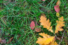 Autumn leaves in the grass. Indian summer and coolness. royalty free stock photo