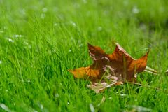 Autumn leaves in the grass. Indian summer and coolness. stock photo
