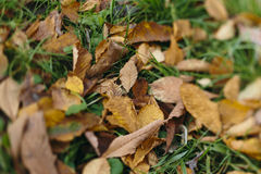 Autumn leaves on the grass Royalty Free Stock Photo