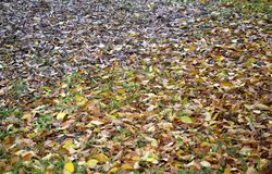 Autumn leaves on grass. An autumn scene with fallen leaves on the green grass Royalty Free Stock Images