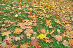 Autumn leaves on the grass. Royalty Free Stock Photography