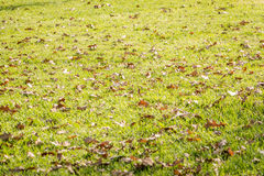 Autumn leaves on the grass. On a sunny day Royalty Free Stock Photos