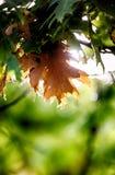 Autumn leaves green Stock Photos