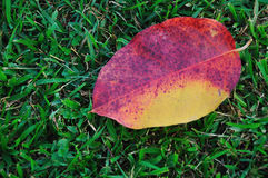 Autumn leaves on green grass Stock Image