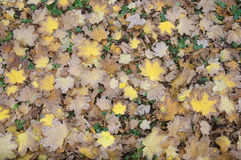 Autumn leaves. On green grass Stock Photography