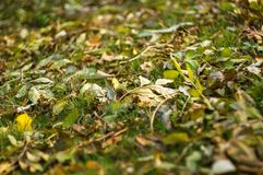 Autumn leaves in green grass. Close up Stock Photos