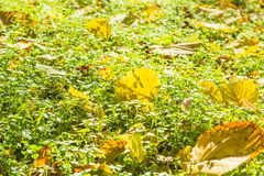 Autumn leaves in the green grass, backlit Royalty Free Stock Photography