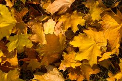 Autumn leaves in green grass. Close up Royalty Free Stock Images