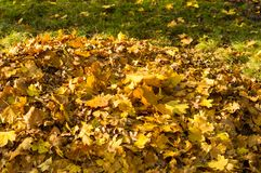 Autumn leaves in green grass. Close up Royalty Free Stock Photography