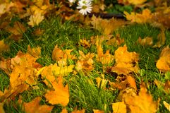 Autumn leaves in green grass. Close up Stock Image