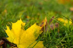 Autumn leaves in green grass. Close up Stock Photography