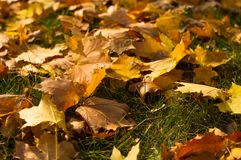 Autumn leaves in green grass. Close up Stock Photo