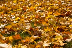 Autumn leaves in green grass. Close up Royalty Free Stock Photo