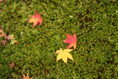 Autumn leaves on green grass in Japan royalty free stock photos