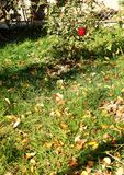 Autumn leaves on green grass and red rose bushes at a garden Stock Photography
