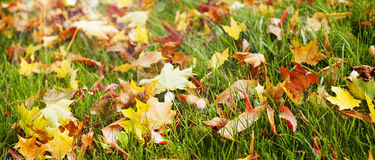 Autumn leaves on green grass Royalty Free Stock Image