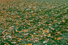 Autumn leaves on green grass. Texture of fallen foliage. Green and yellow colors. Seasonal picturesque background. Landscape stock image