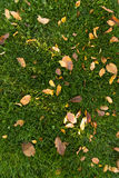 Autumn leaves on a green lawn Royalty Free Stock Images