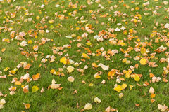 Autumn leaves on a green lawn Royalty Free Stock Photo
