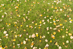 Autumn leaves on a green lawn Stock Images