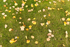 Autumn leaves on a green lawn Stock Image