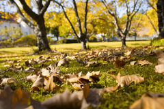 Autumn leaves on green lawn with trees in background Stock Photos
