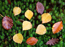 Autumn leaves on green moss Stock Photos