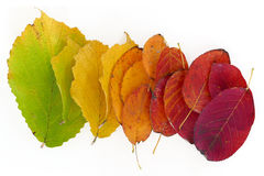 Autumn leaves from green to red, isolated on white background Royalty Free Stock Photography