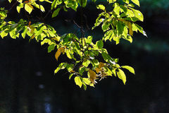 Autumn leaves. Green two autumn leaves with blurred dark background Royalty Free Stock Photography