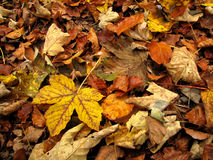 Autumn leaves on the ground. Different colors autumn leaves on the ground. Useful for greeting cards, postcards in theme with the autumn Royalty Free Stock Image
