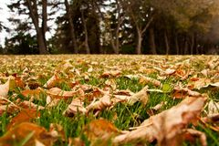 Autumn Leaves On The Ground. Dry autumn leaves on the green grass Royalty Free Stock Image