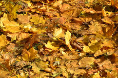 Autumn leaves on the ground. As background, Horizontal photo. Anyone Stock Images