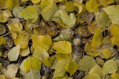 Autumn leaves on the ground. Carpet of autumn yellowed and fallen leaves on the ground Stock Photo
