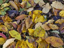 Autumn leaves on the ground. Colors of autumn leaves on the ground in the garden Stock Photos
