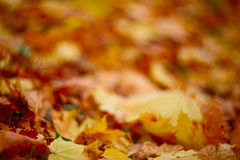 Autumn leaves on ground. Dry maple colorful autumn leaves on ground Stock Photography