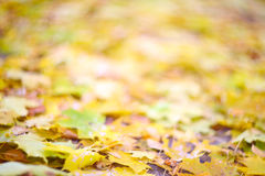 Autumn leaves on ground. Dry maple colorful autumn leaves on ground Royalty Free Stock Image