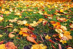 Autumn leaves on ground. Autumn fall in park.  Royalty Free Stock Image