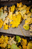 Autumn leaves on the ground. Royalty Free Stock Image