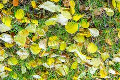 Autumn leaves on green grass. The leaves are yellow linden. Text. Autumn Leaves on the ground in late autumn, the golden autumn. the third season of the year stock photo