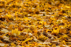 Autumn leaves on the ground. Leaves lying on the ground during fall season Royalty Free Stock Photo