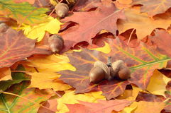 Autumn leaves on a ground. Autumn leaves and oak nuts on a ground Stock Photos