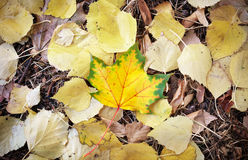Autumn leaves on the ground and one beautiful maple leaf. In the center. Outdoor Royalty Free Stock Image