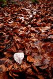 Autumn leaves on the ground. Photo of autumn leaves on the ground with the white underside of a whitebeam leave in the foreground Stock Images
